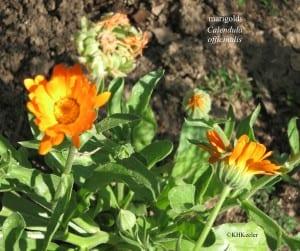 marigolds, Calendula