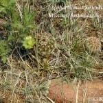 Missouri foxtail cactus, Escobaria missouriensis