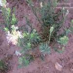 scarlet beeblossom Gaura coccinea