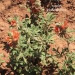 Sphaeralcea coccinea scarlet globemallow