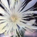 Mentzelia nuda, bractless blazing star