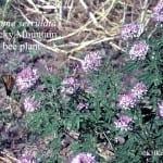 Rocky Mountain bee plant Cleome serrulata