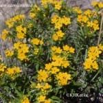 Lithospermum caroliniense, puccoon