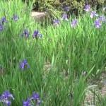 purple iris in Japan