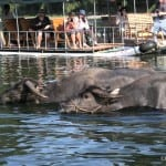 Water buffalo in the Li River, China