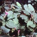Ipomoea gracilis