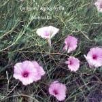 Ipomoea leptophylla bush morning glory