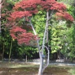 Fall red maple, garden in Tokyo