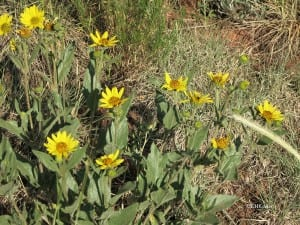 bushsunflower