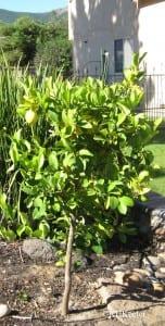 Small lemon tree