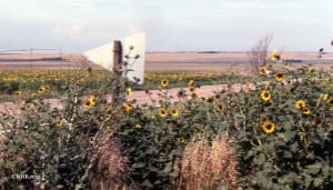 Nebraska roadside sunflowers