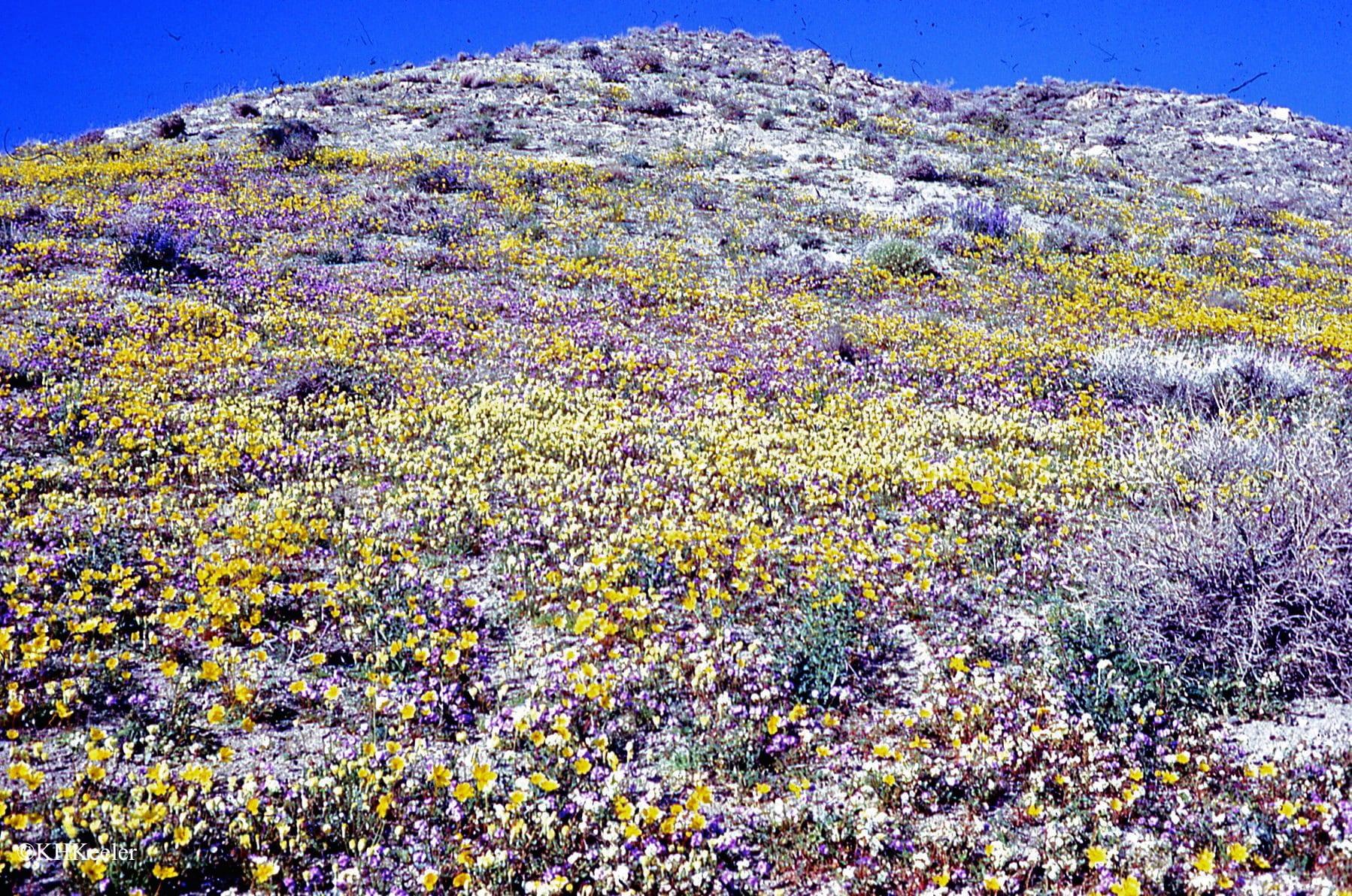 California spring wildflowers