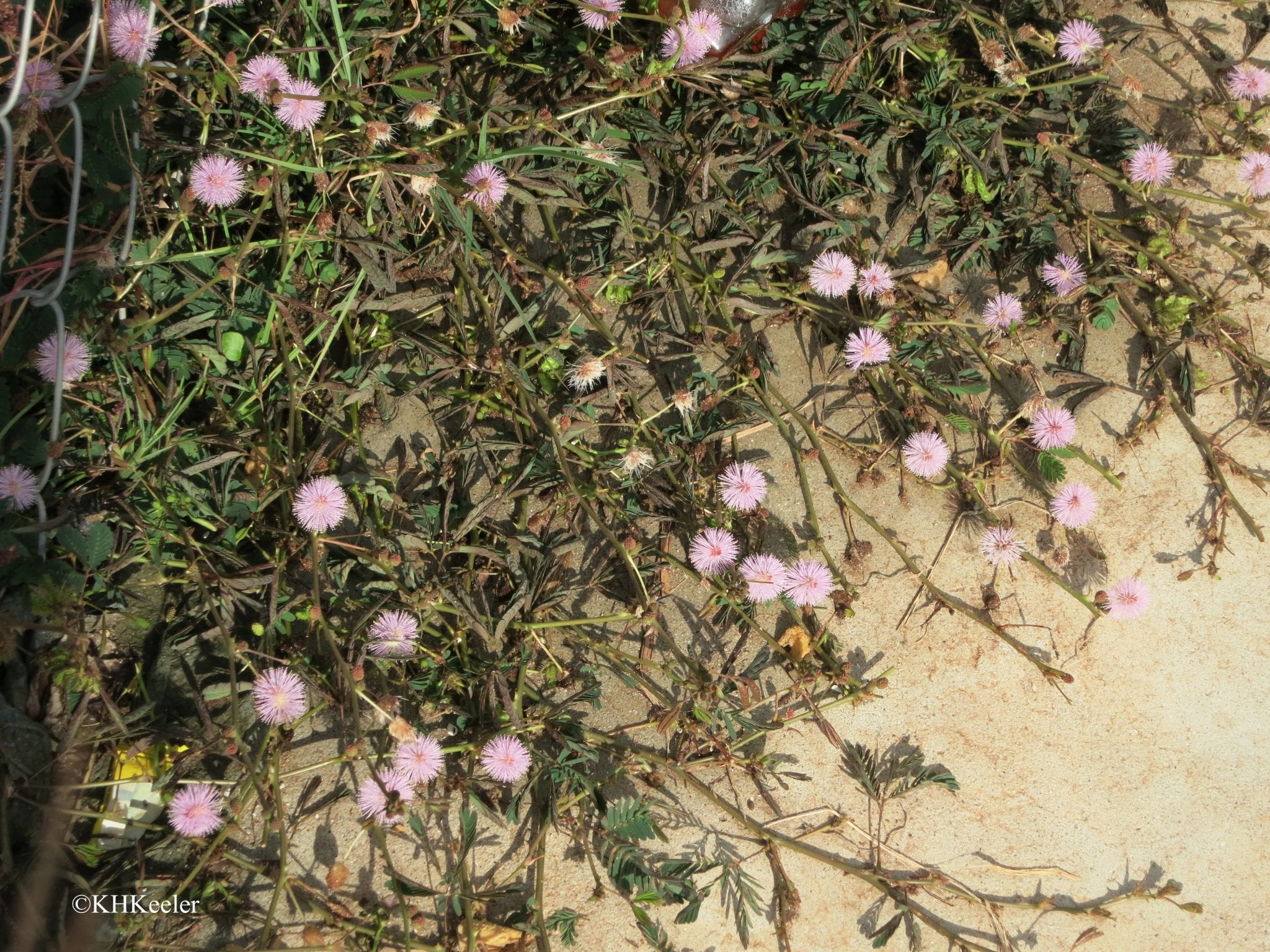 sensitive plant, Mimosa pudica, after a touch