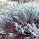 big sagebrush