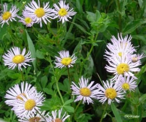 formerly, asters