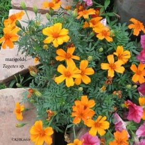 marigolds, Tagetes