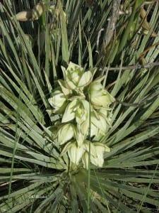 yuccaflowers