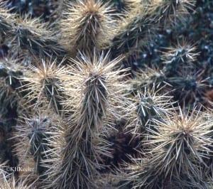 spiny cacti